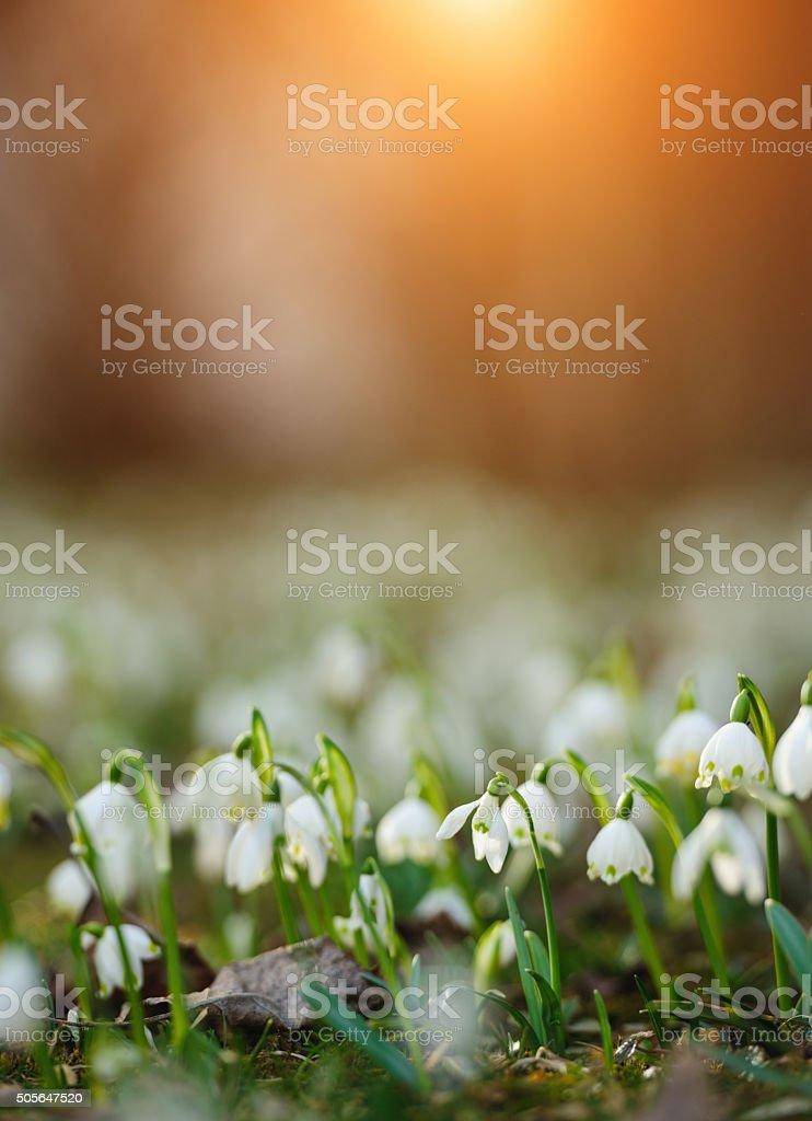 Leucojum vernum stock photo