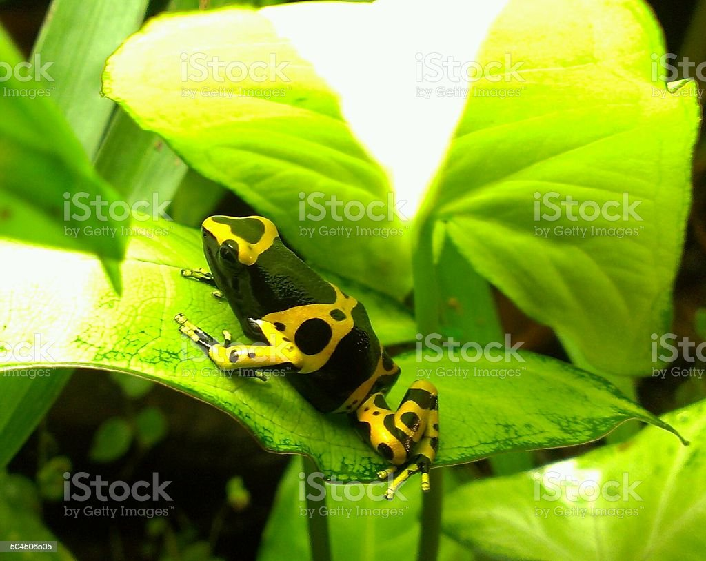 Leucomelas yellow and black dart frog, Clear, colorful, beautiful shot stock photo