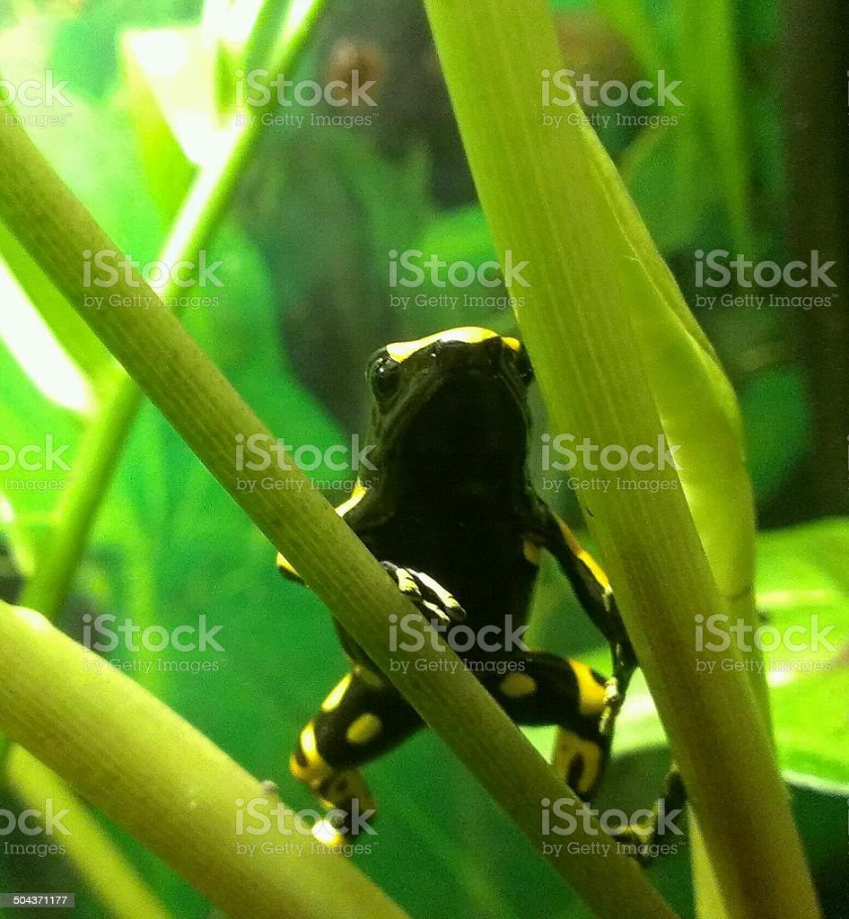 Leucomelas yellow and black dart frog, Colorful and clear beautiful. stock photo
