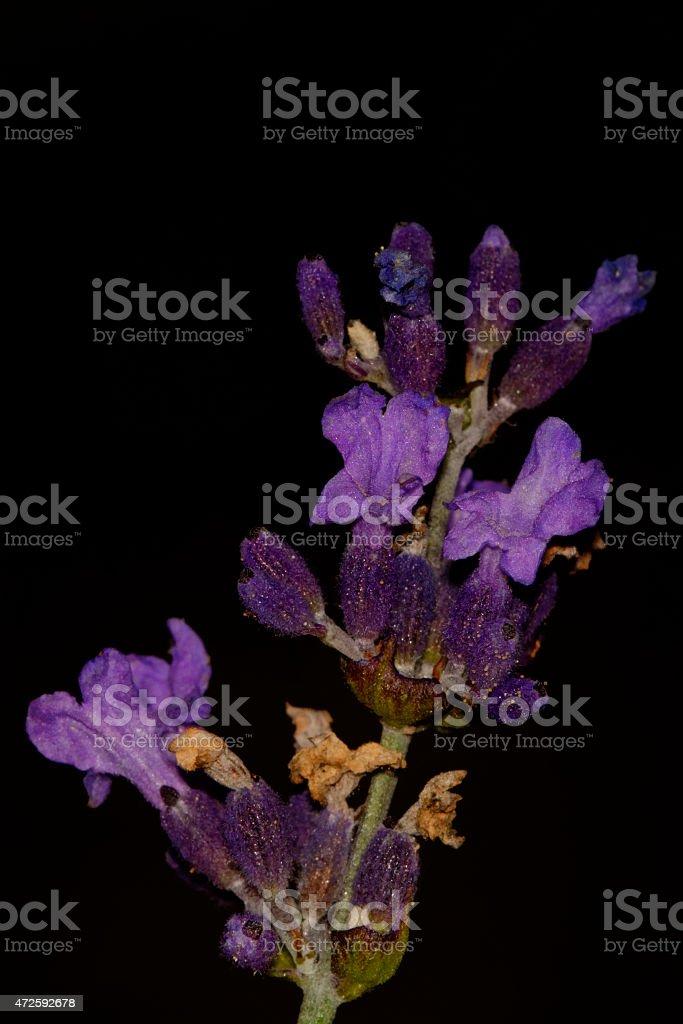 Levander flower stock photo