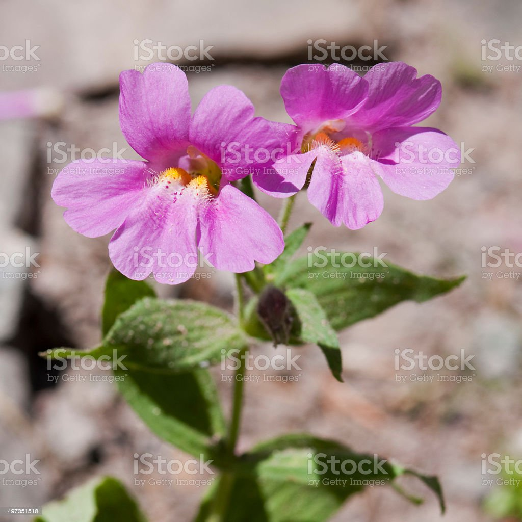 Lewis' monkeyflower  Mimulus lewisii stock photo