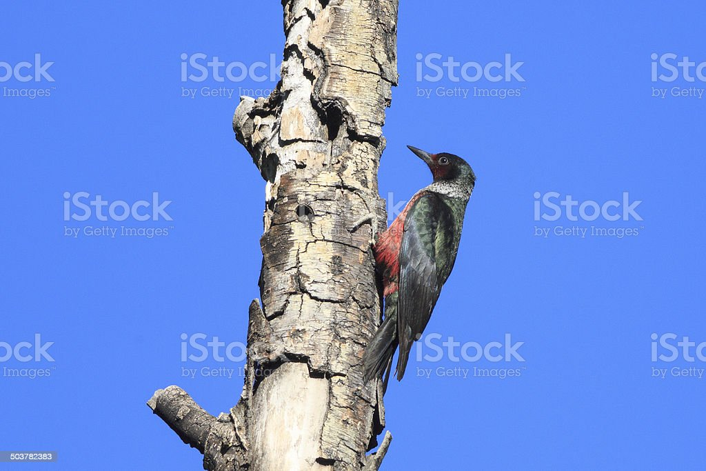 Lewis's Woodpecker royalty-free stock photo