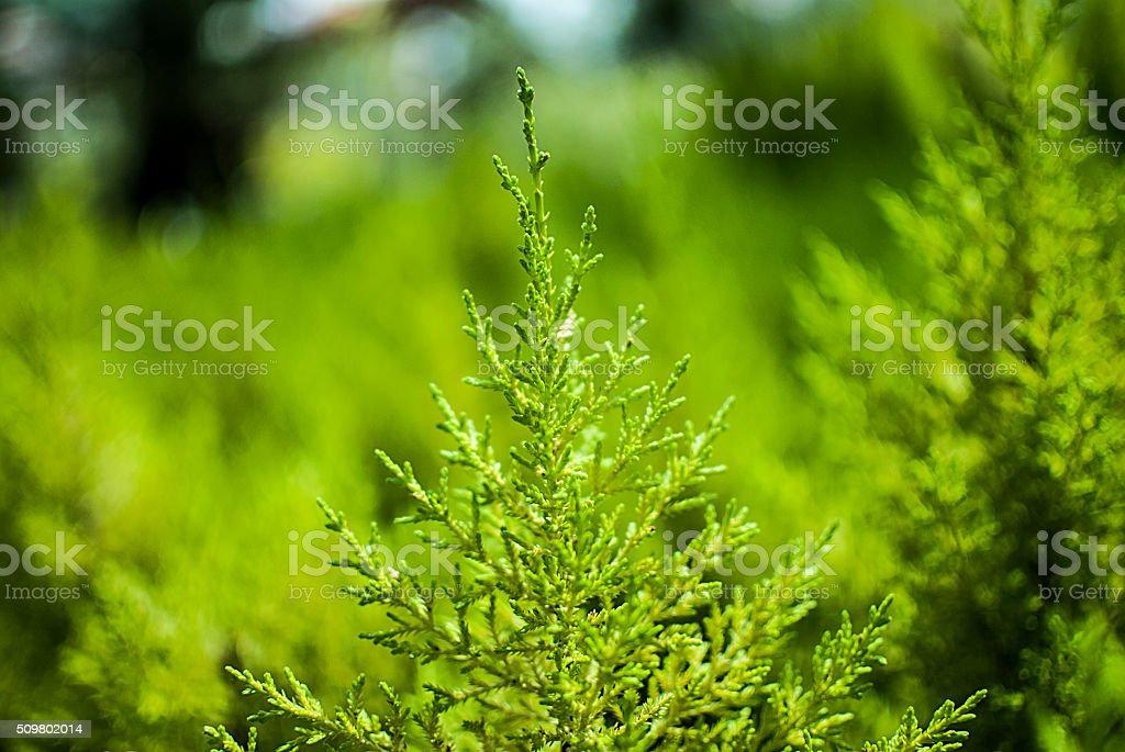 leylandii tree green background stock photo