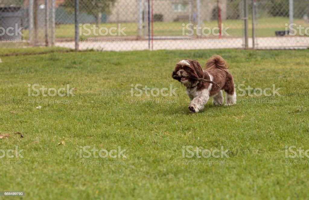 Lhasa Apso dog mix stock photo