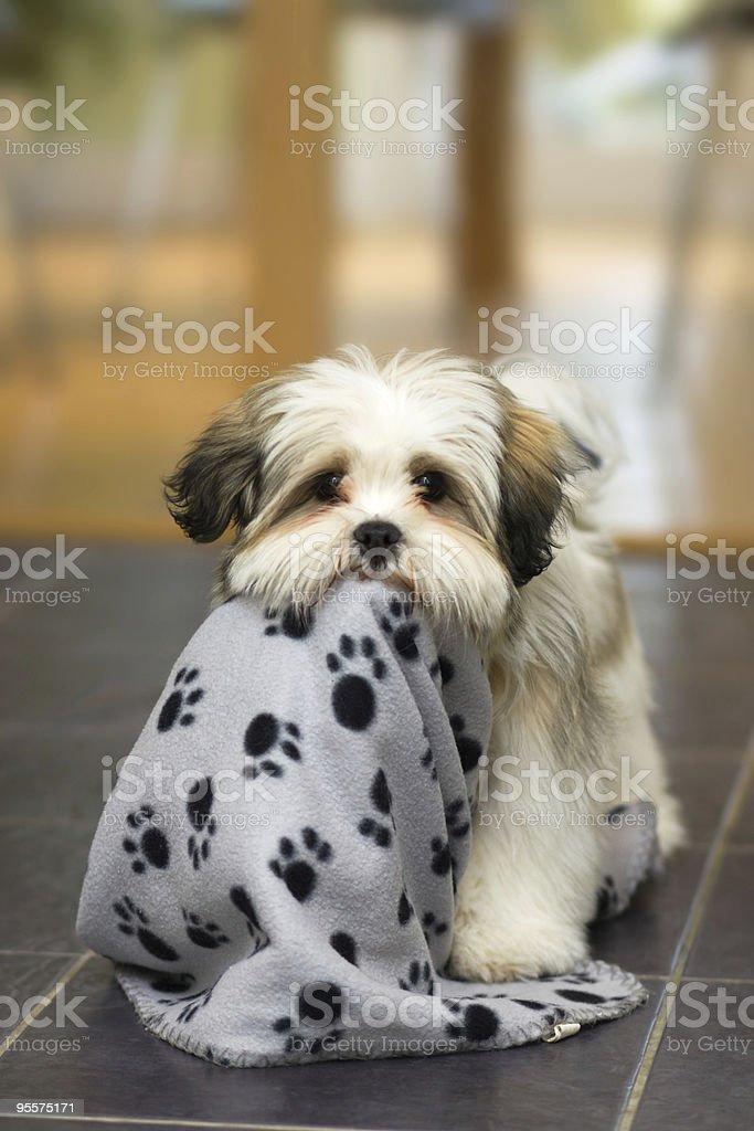 Lhasa Apso puppy royalty-free stock photo