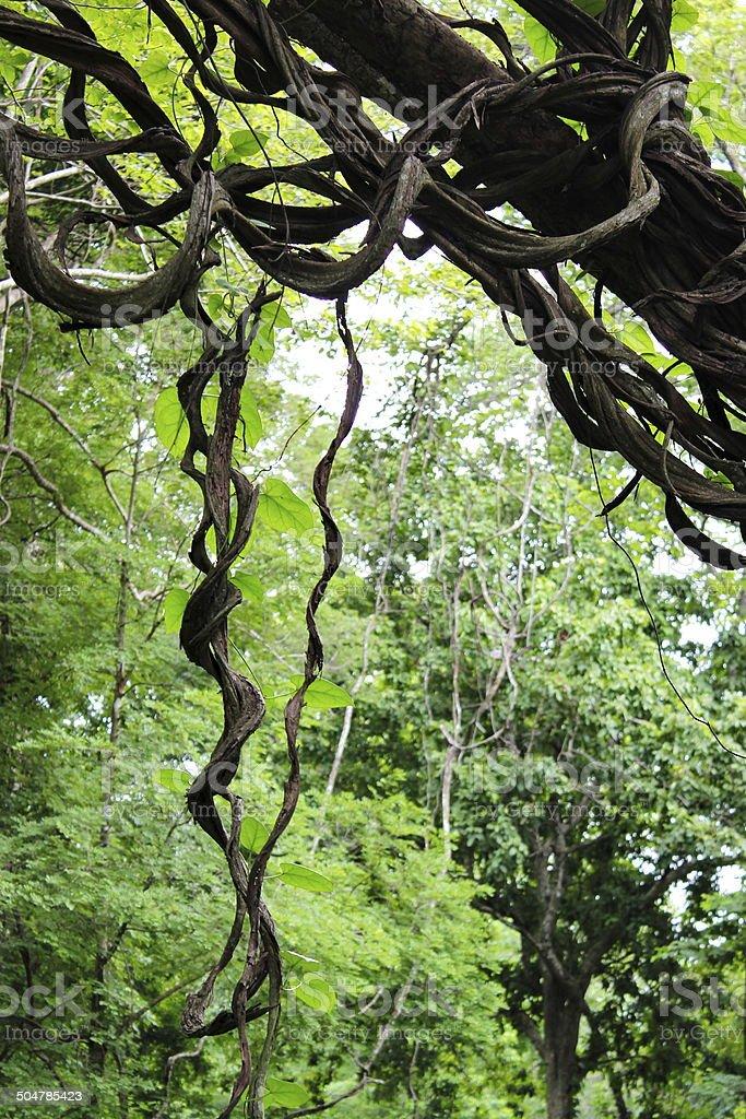 liana stock photo