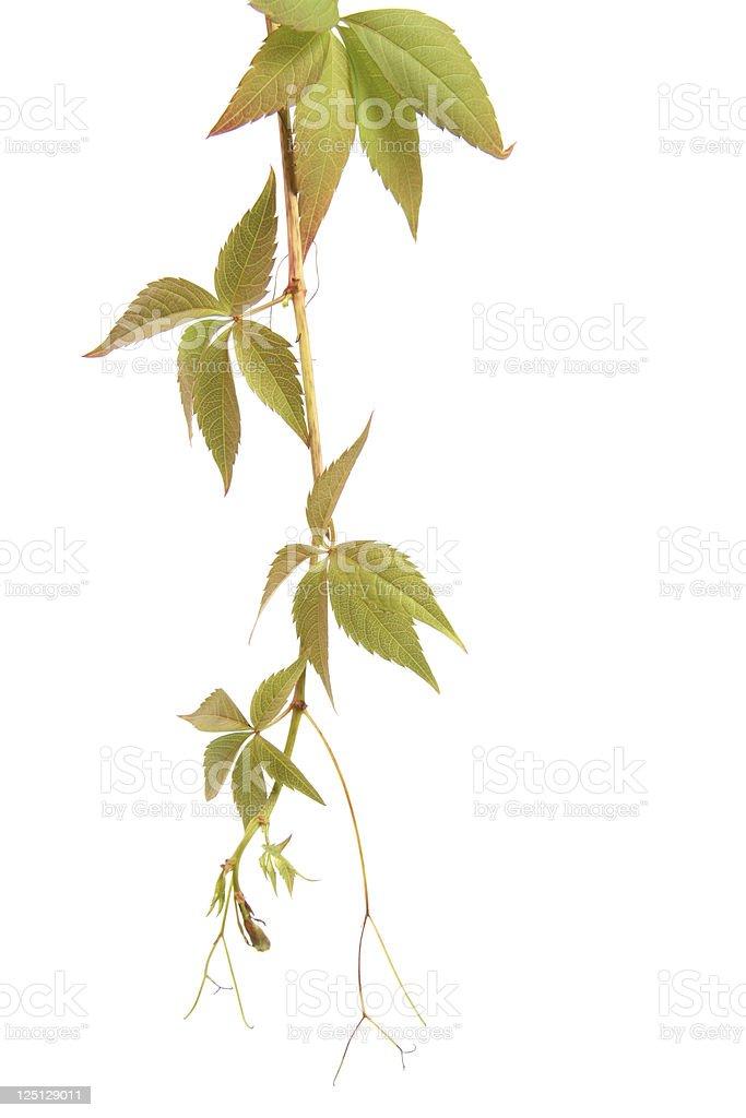 liana plant bindweed royalty-free stock photo