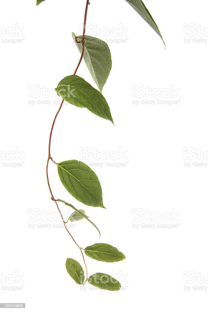liana plant stock photo