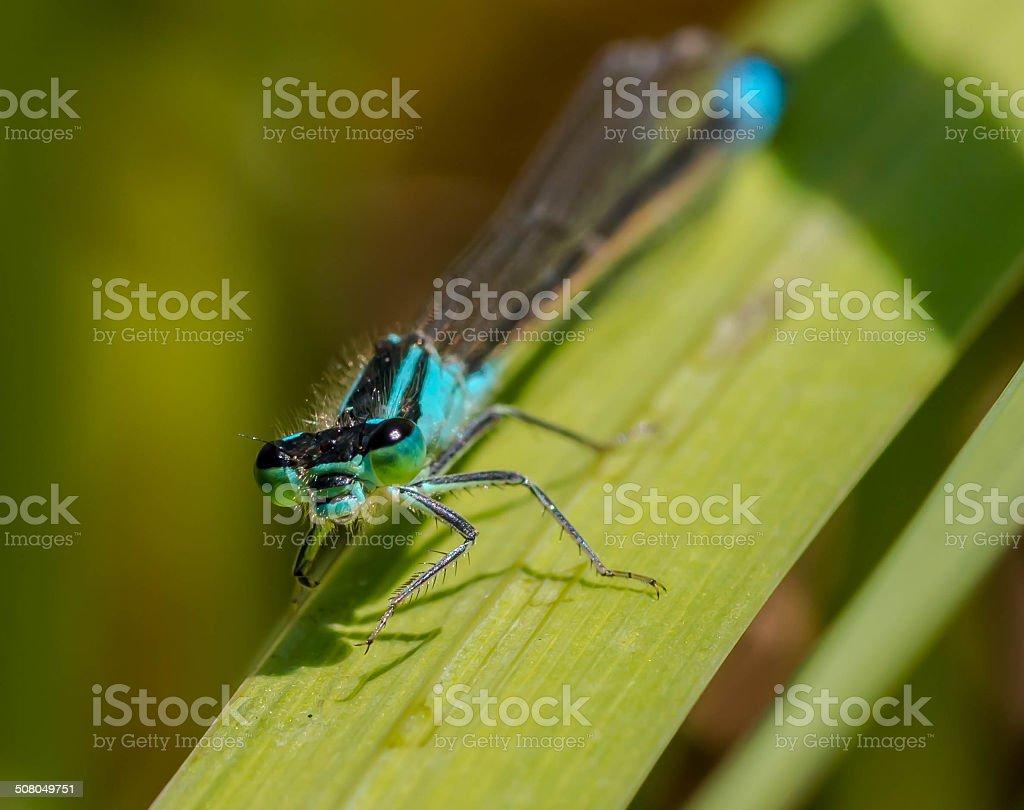 Libelle am Teich stock photo