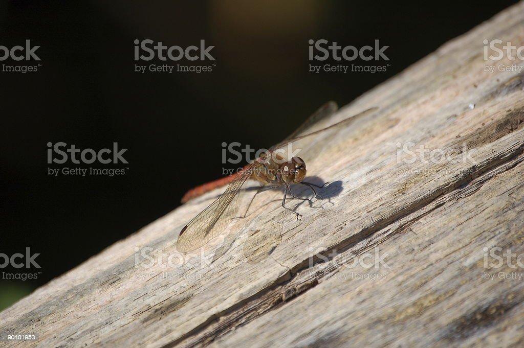 Libelle stock photo