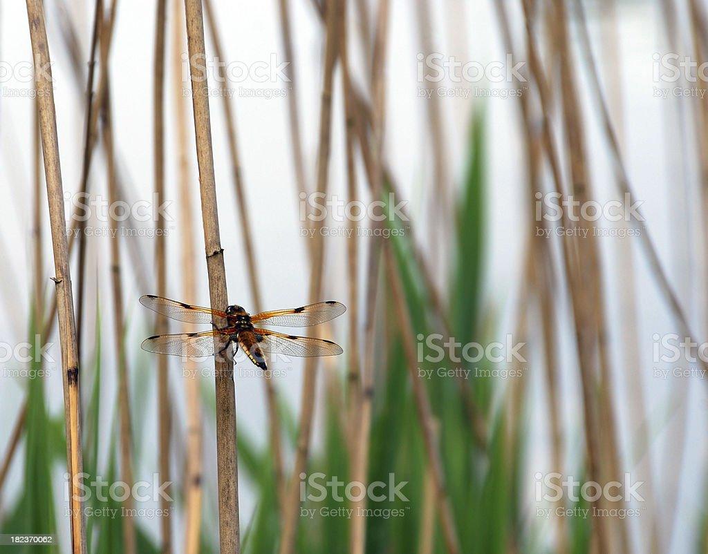 Libellula depressa hanging on reed stock photo