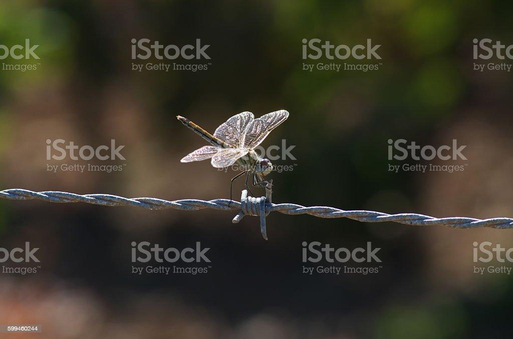 Libellula - Dragonfly stock photo