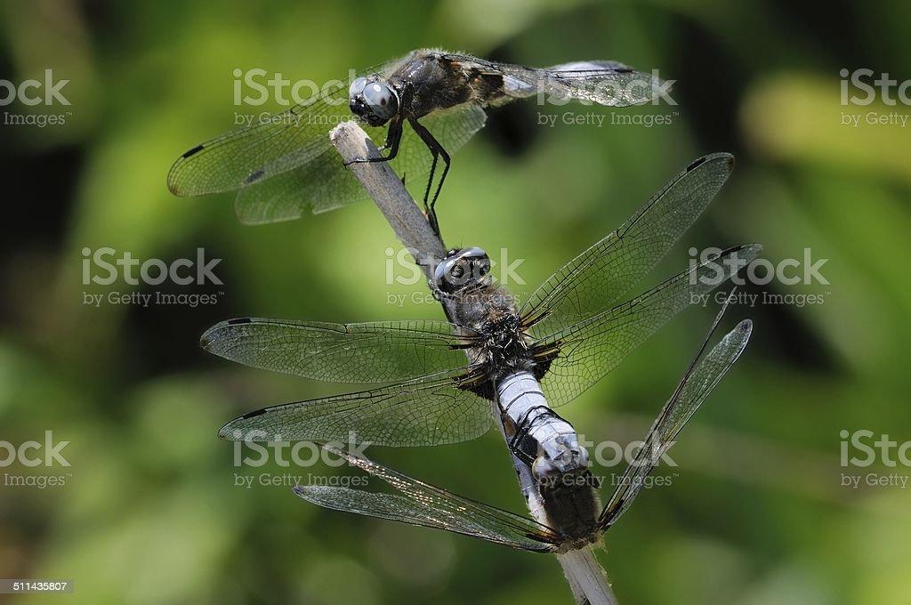 Libellula fulva, mating stock photo