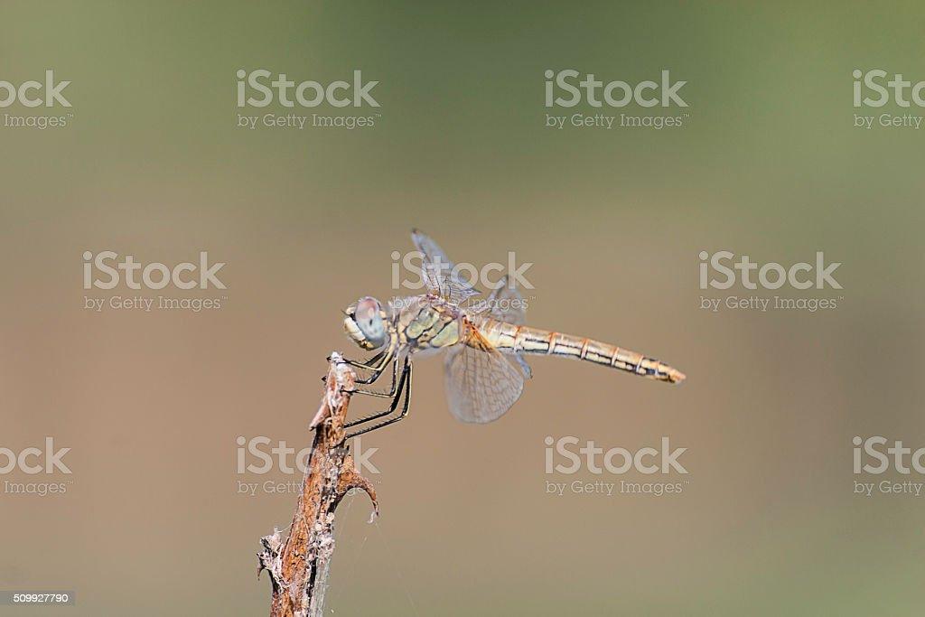 libellula profilo appoggiata colori stock photo