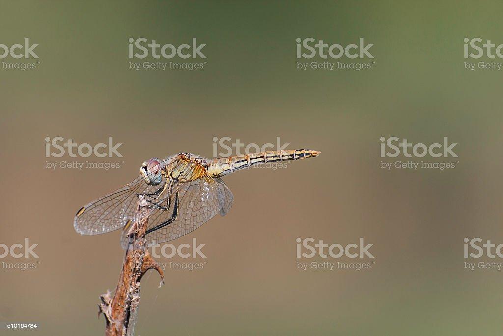 libellula profilo colore ali stock photo