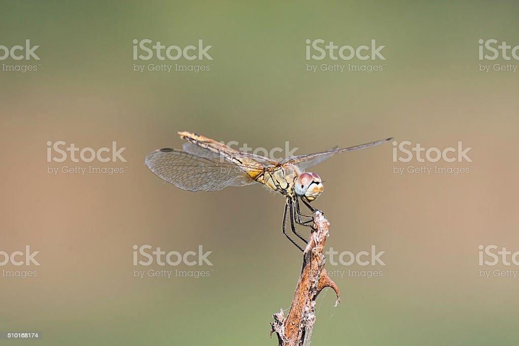 libellula vista frontale appoggiata singola stock photo