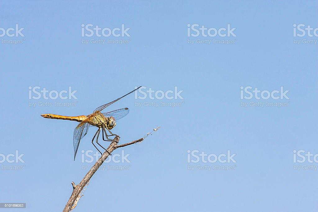 libellula, volo, erba, azzuro, stock photo