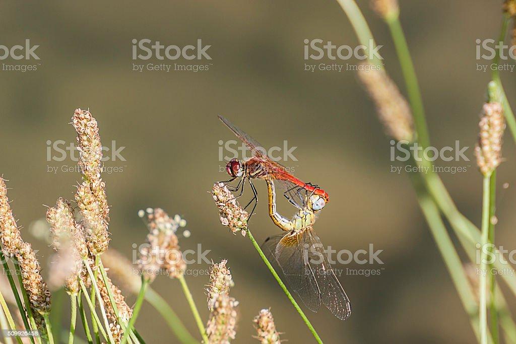 libellule, coppie, amore, riproduzione stock photo