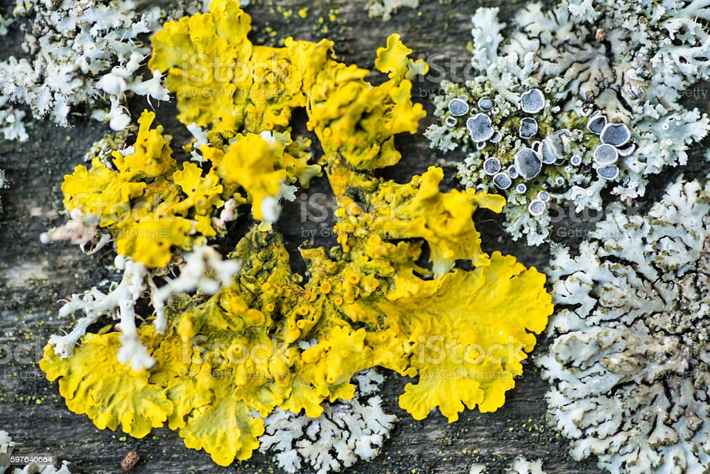Lichen as a blurred skull on head hornet for background stock photo
