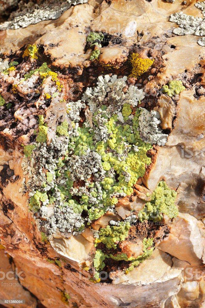 Lichen Candelina Flavoparmelia Cyanobacteria Feldspar stock photo