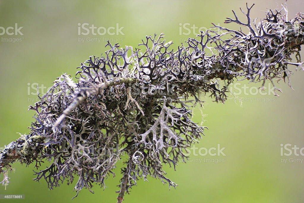 lichen on a spruce branch stock photo