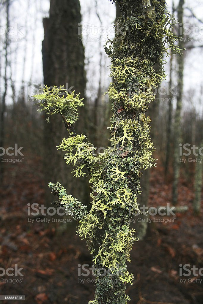 Lichen on a tree royalty-free stock photo