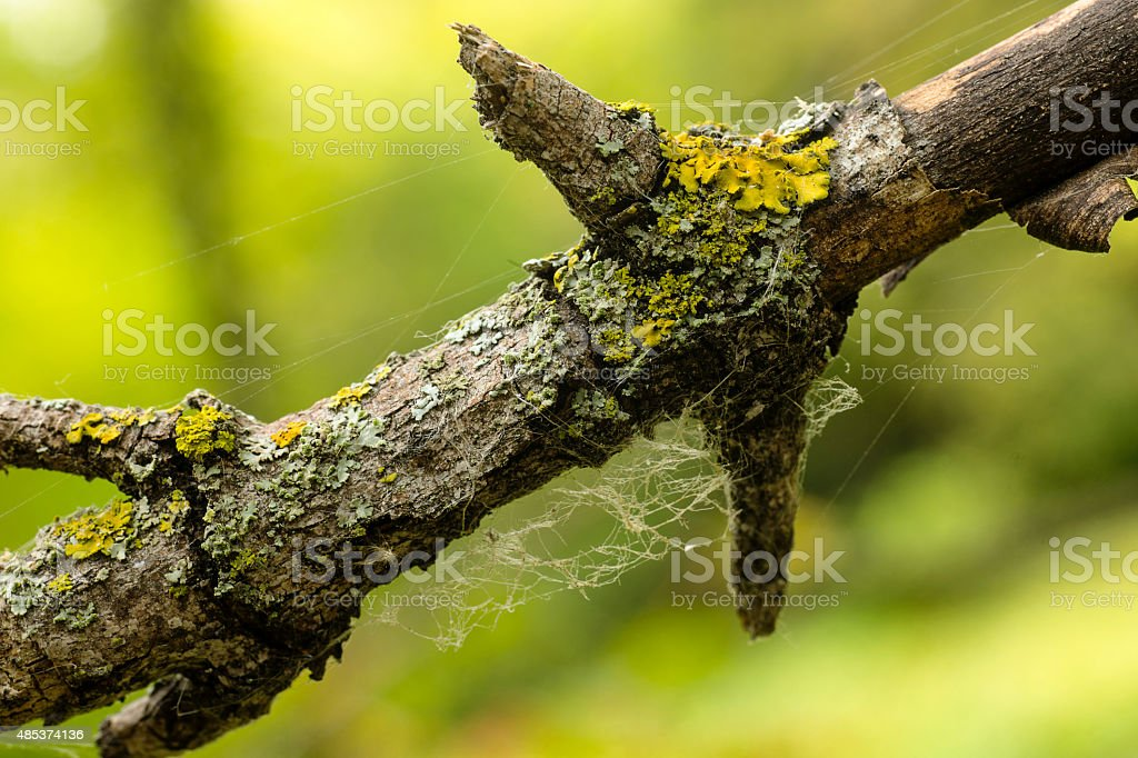 Lichen on Dead Tree Branch stock photo