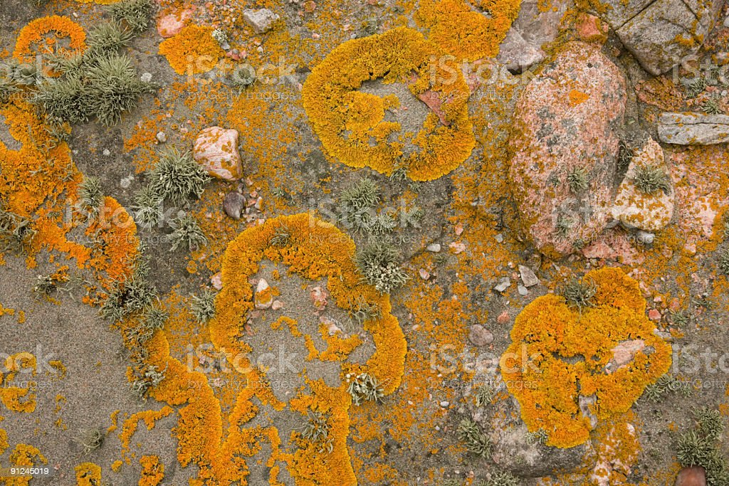Lichen on rocks at Scatness Shetland Islands Oct 08 royalty-free stock photo
