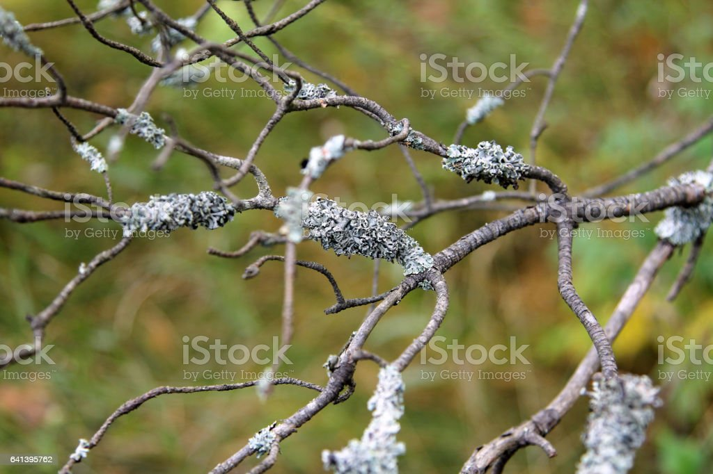 Lichen on the branches of a dry tree stock photo