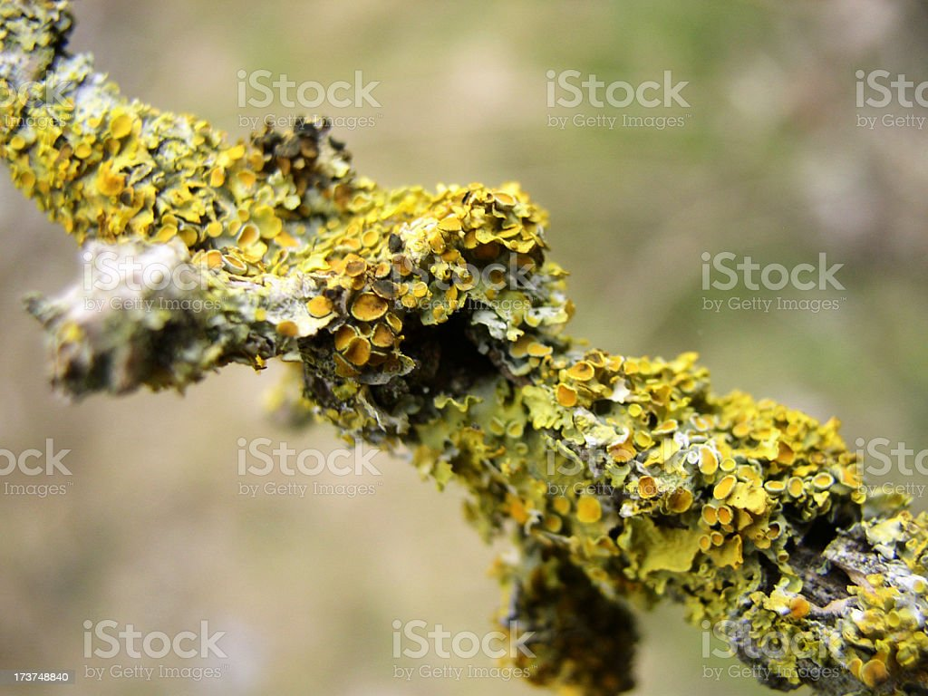 lichen royalty-free stock photo
