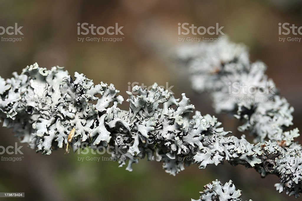 Lichen . stock photo