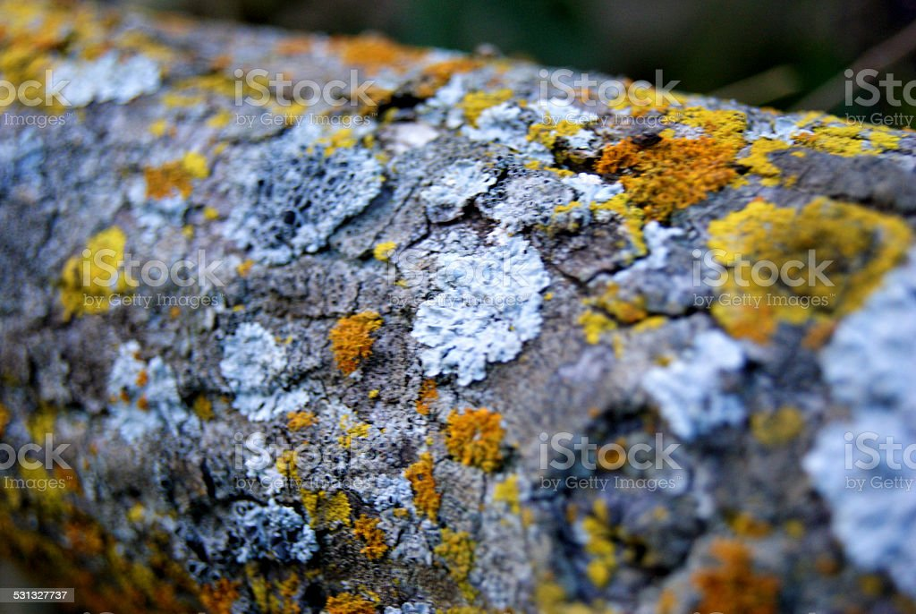 Lichen Wrapped Log royalty-free stock photo