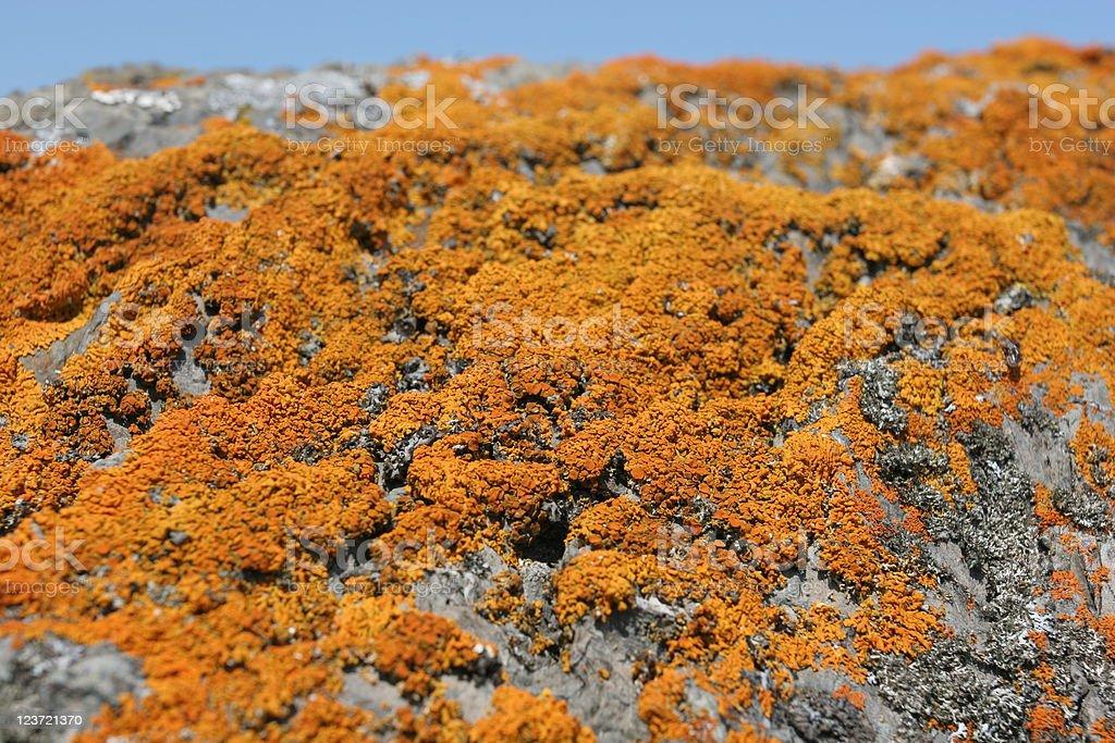 Lichen-covered rocks on coast ('maritime sunburst lichen') stock photo