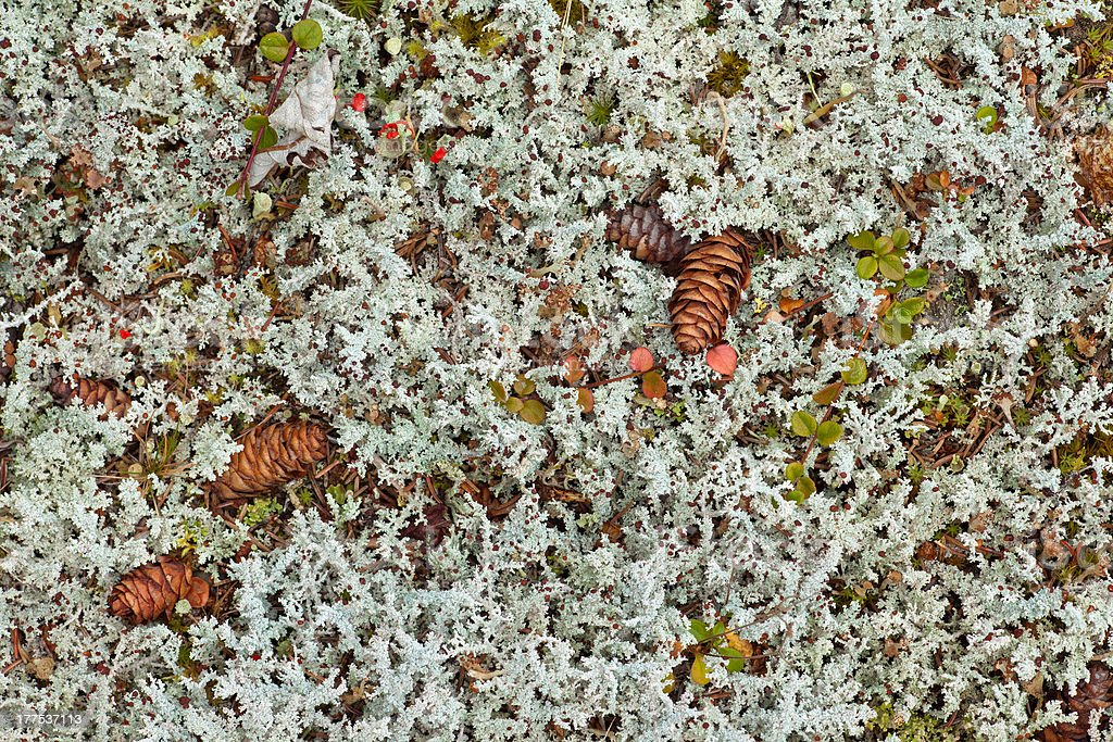Lichens cover background of boreal forest floor royalty-free stock photo