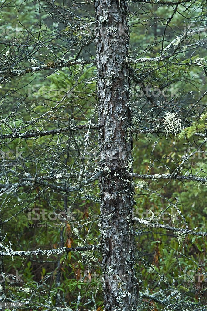 Lichens on Spruce royalty-free stock photo