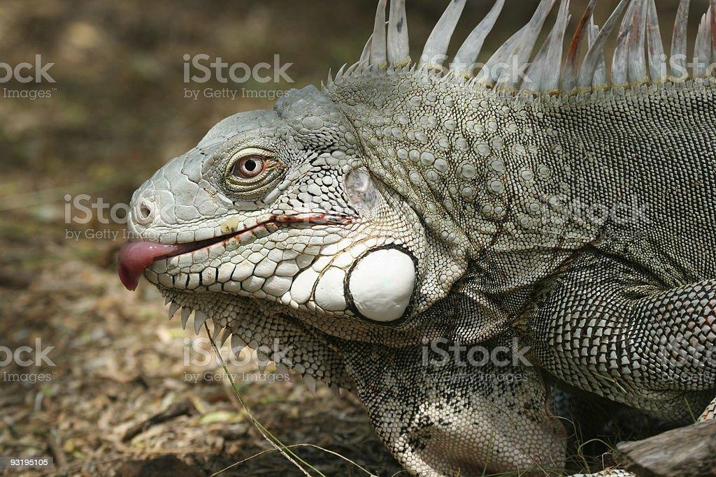 Licking iguana stock photo