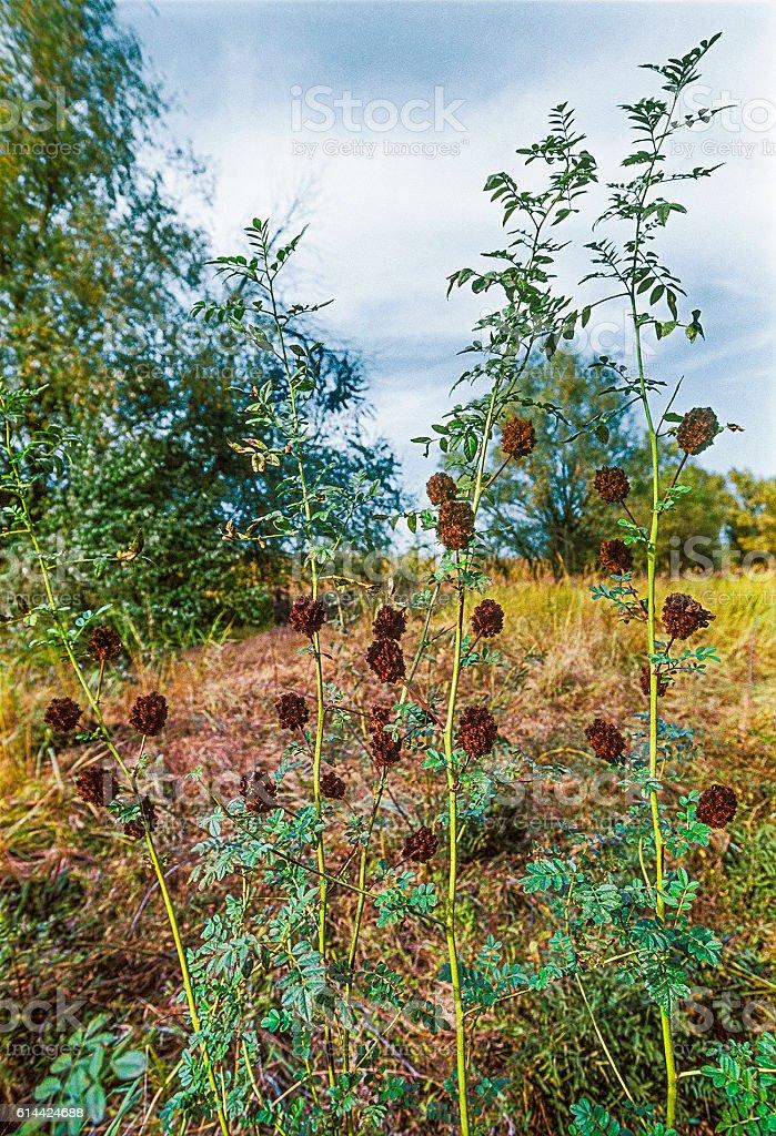 Licorice bristly ( Glycyrrhiza echinata L., 1753 ). Astrakhan, Russia stock photo