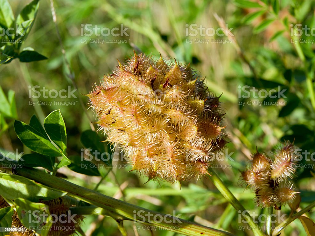 Licorice (Glycyrrhiza glabra) stock photo