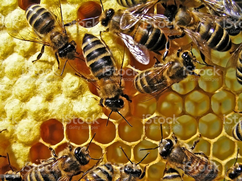 Life and reproduction of bees. royalty-free stock photo