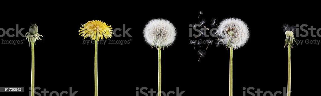 Жизненный цикл в Одуванчик Стоковые фото Стоковая фотография
