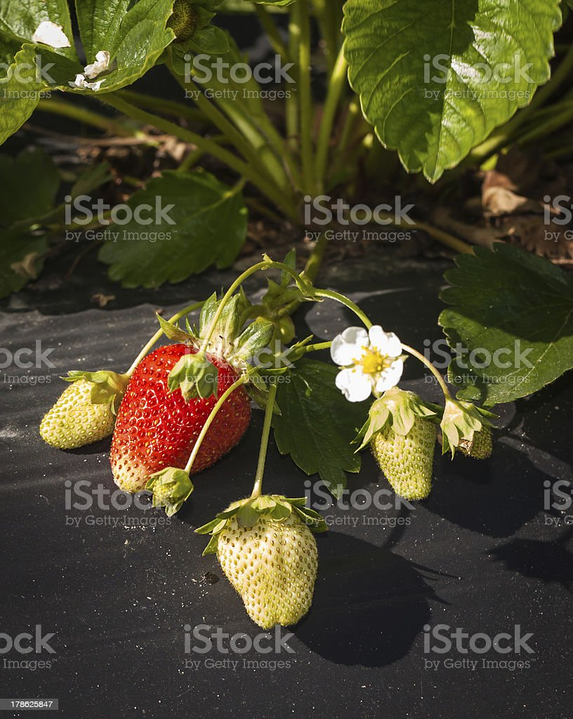Life Cycle of a Strawberry Plant royalty-free stock photo