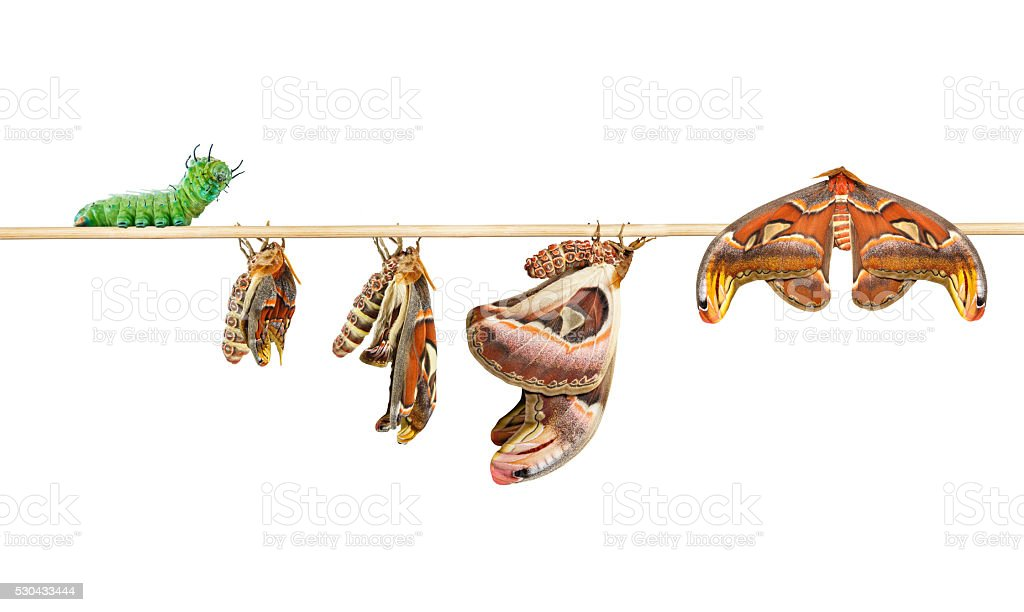Life cycle of attacus atlas moth on white stock photo