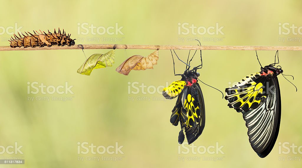 Life cycle of common birdwing butterfly stock photo