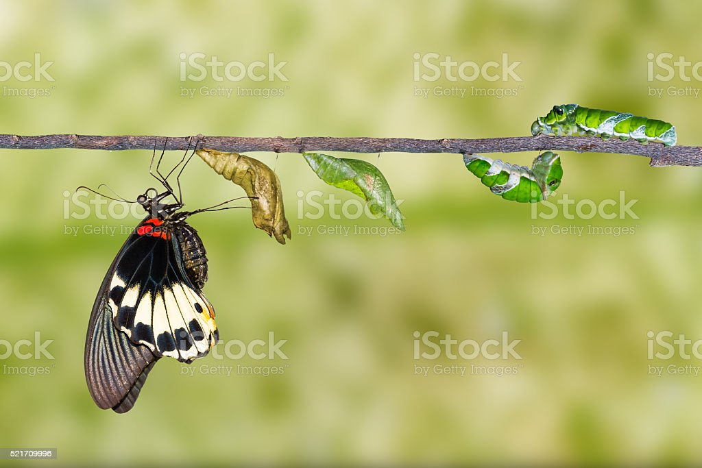 Life cycle of female great mormon butterfly stock photo