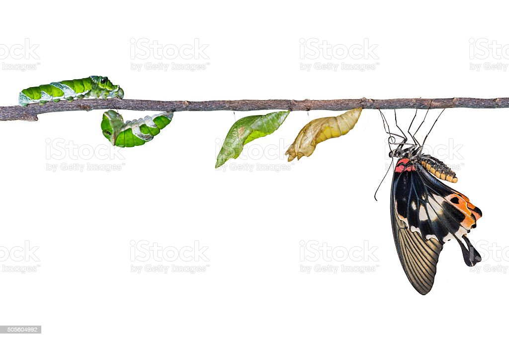 Life cycle of great mormon butterfly stock photo
