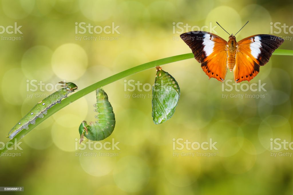 Life cycle of Tawny Rajah butterfly stock photo