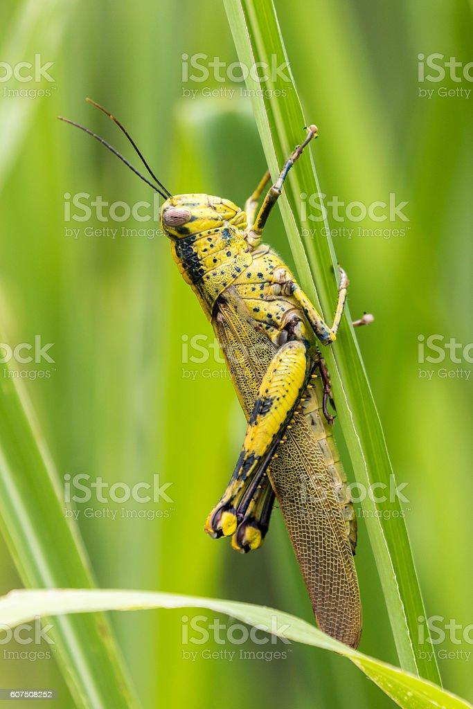 Life Grasshopper stock photo