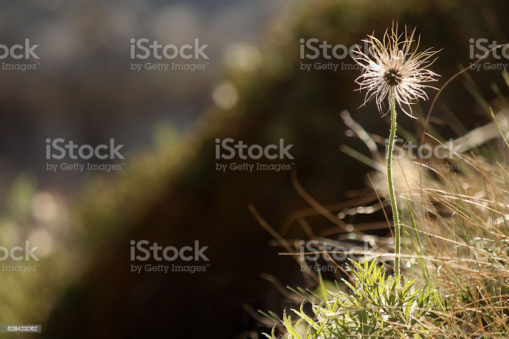 Life in the Canyon - Three-Flowered Avens stock photo