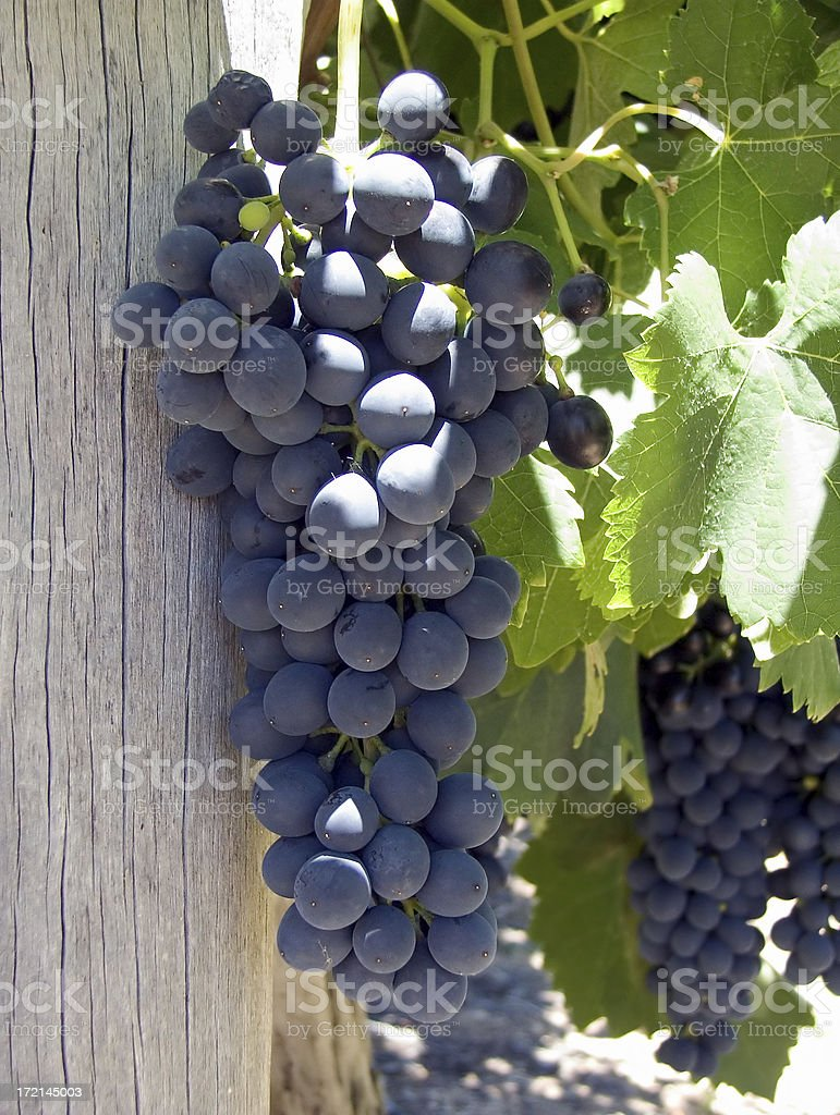 life is a cabernet, old chum royalty-free stock photo