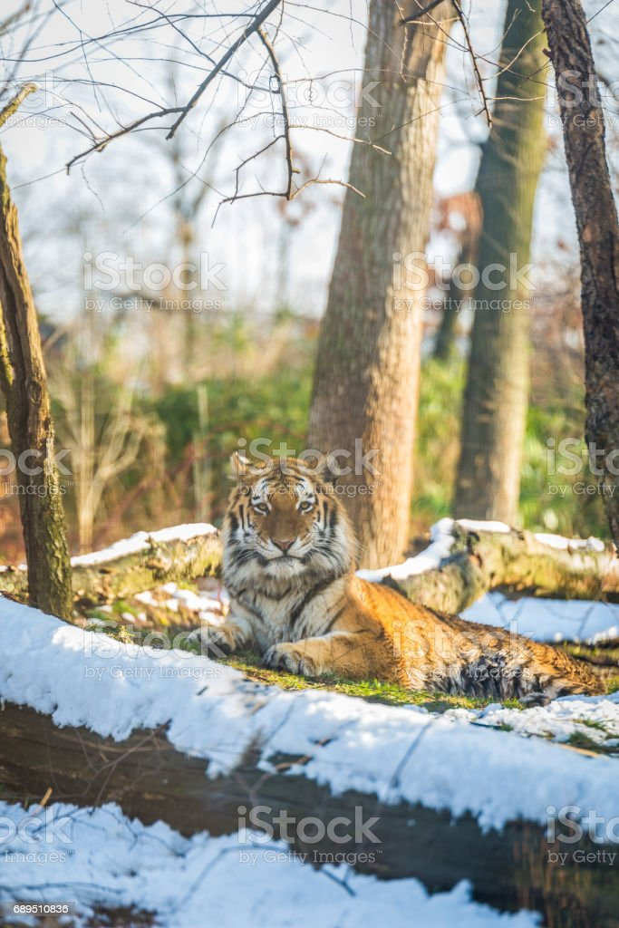 Life of a Tiger stock photo
